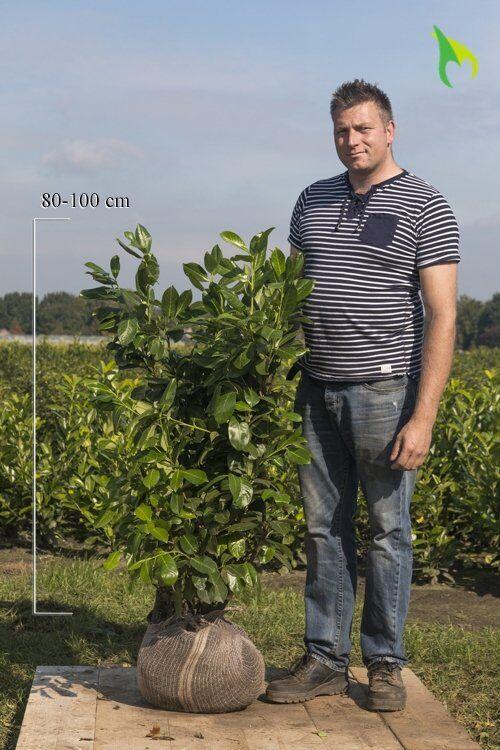 Laurier 'Rotundifolia' (80-100 cm) Kluit