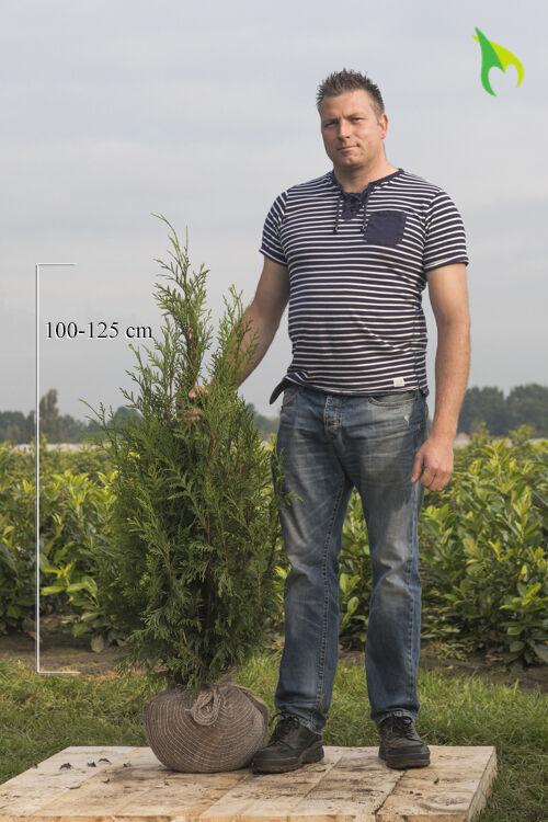 Levensboom 'Atrovirens' (100-125 cm) Kluit