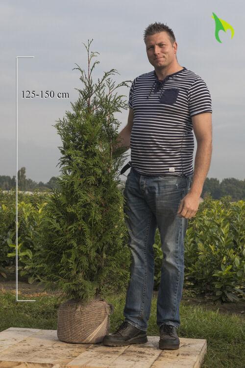 Levensboom 'Atrovirens' (125-150 cm) Extra kwaliteit Kluit