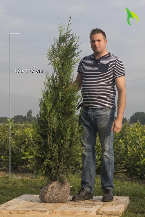 Levensboom 'Atrovirens' (150-175 cm) Extra kwaliteit Kluit