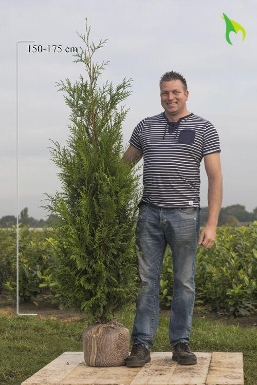 Levensboom 'Atrovirens' (175-200 cm) Extra kwaliteit Kluit