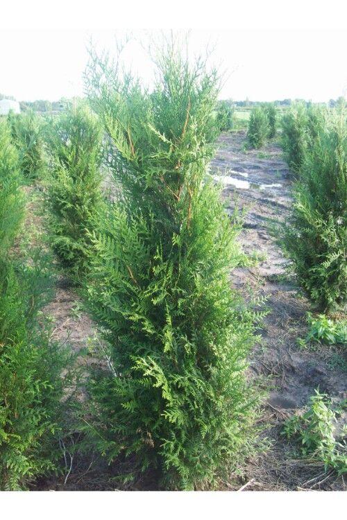 Levensboom 'Atrovirens' (200-225 cm) Extra kwaliteit Kluit