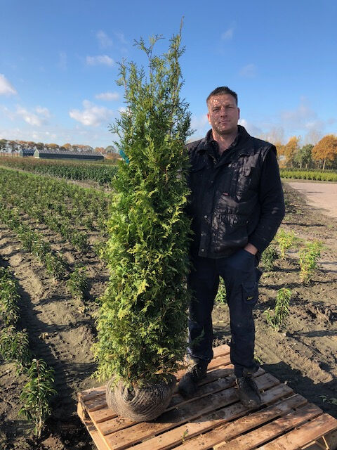 Levensboom 'Brabant' (175-200 cm) Extra kwaliteit Kluit