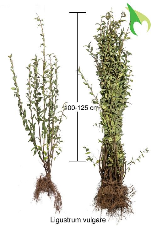 Gewone Liguster (100-125 cm) Blote wortel