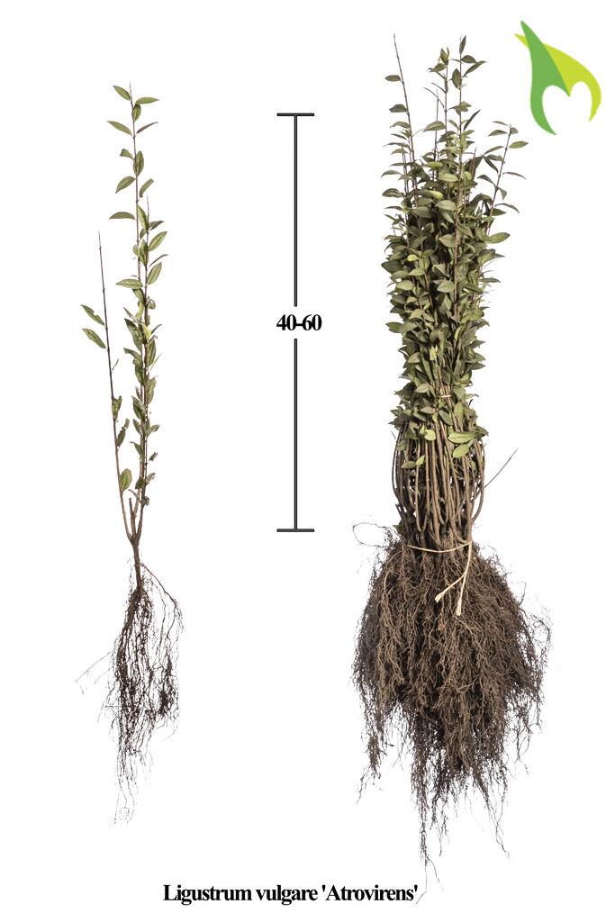 Wintergroene Liguster Atrovirens (40-60 cm) Blote wortel