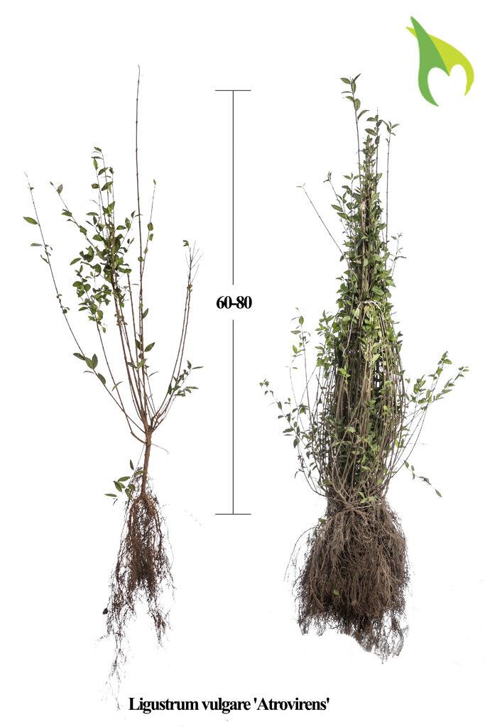 Wintergroene Liguster Atrovirens (60-80 cm) Blote wortel