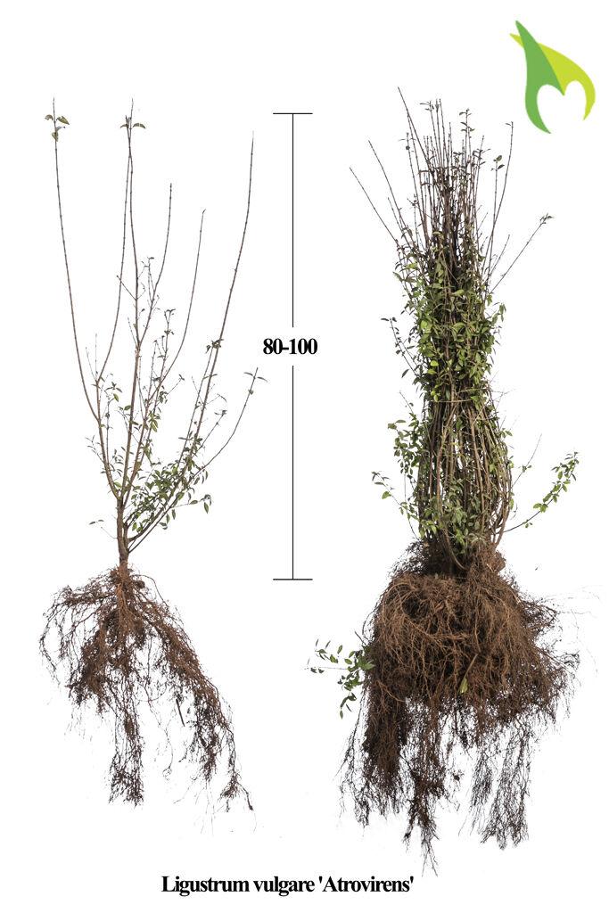 Wintergroene Liguster Atrovirens (80-100 cm) Blote wortel