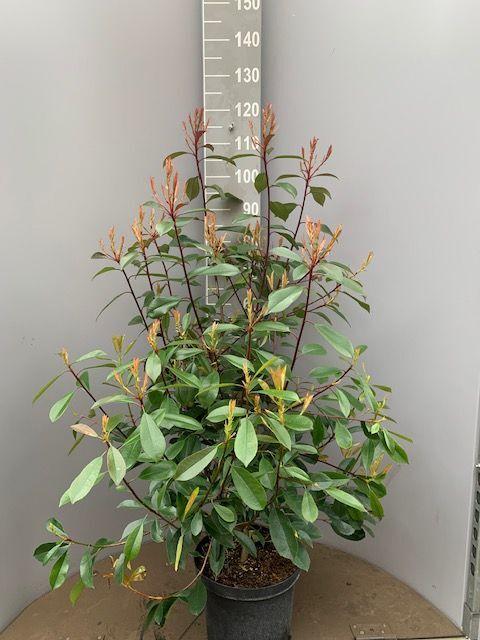 Glansmispel (80-100 cm) Pot