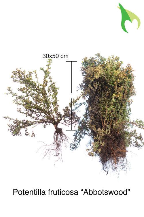 Heesterganzerik 'Abbotswood' (30-50 cm) Blote wortel