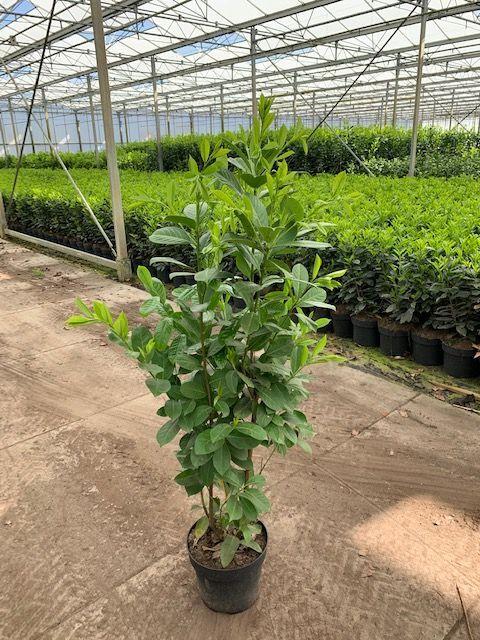 Laurier 'Rotundifolia' (100-125 cm) Pot