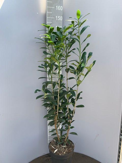 Laurier 'Caucasica' (125-150 cm) Pot