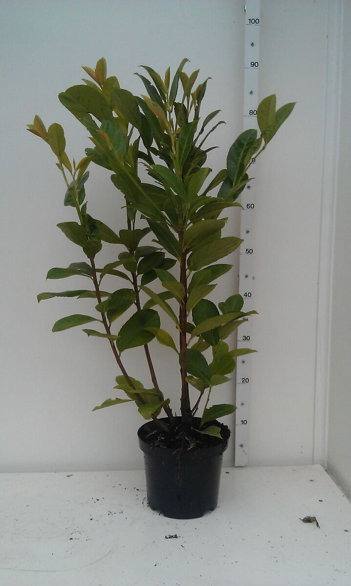 Laurier 'Novita' (60-80 cm) Pot