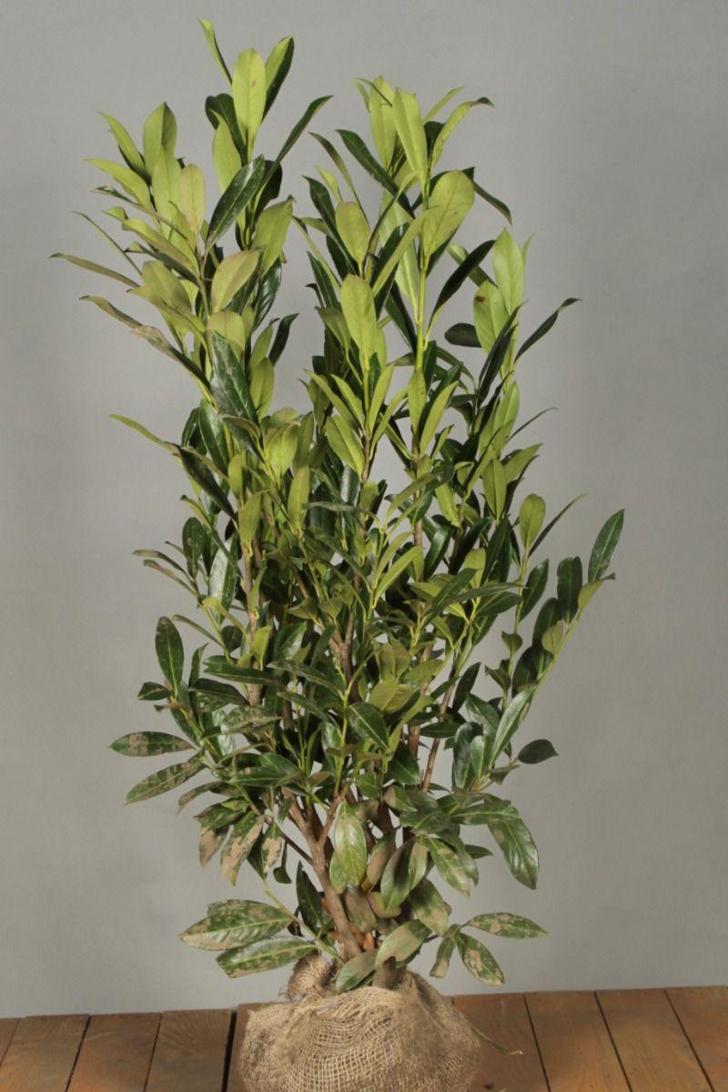 Laurier 'Caucasica' (100-125 cm) Extra kwaliteit Kluit