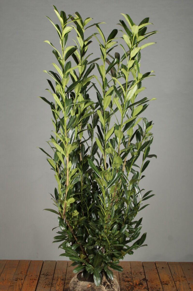 Laurier 'Caucasica' (150-175 cm) Kluit