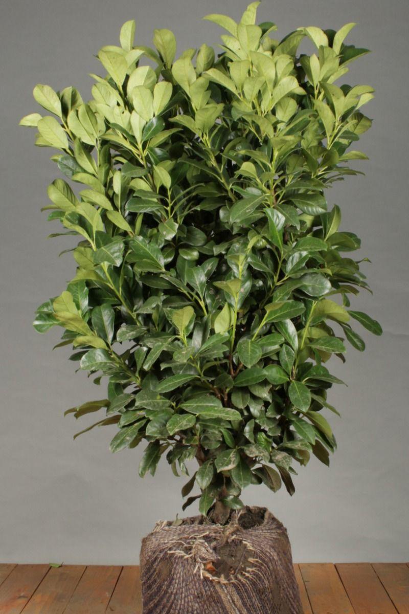 Laurier 'Etna' (100-125 cm) Extra kwaliteit Kluit