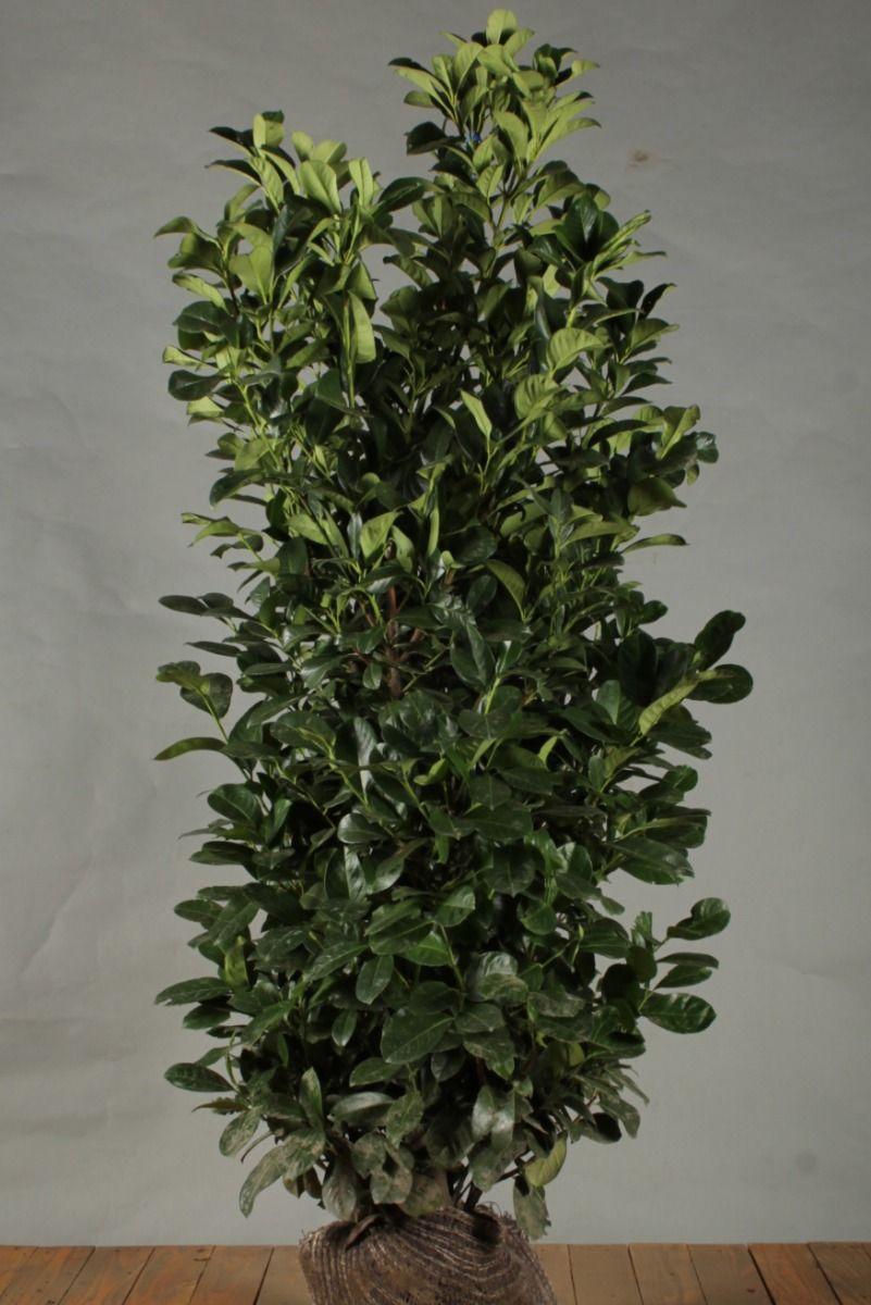 Laurier 'Etna' (150-175 cm) Extra kwaliteit Kluit