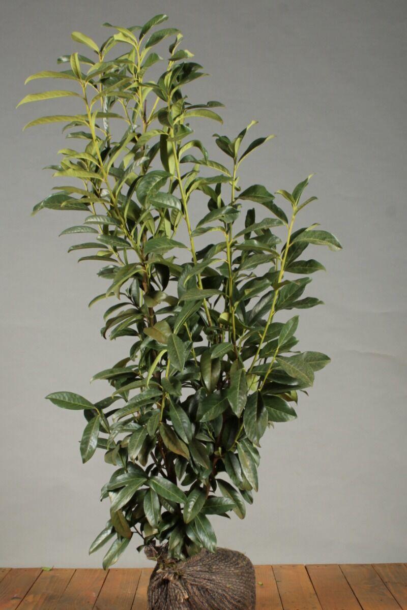Laurier 'Genolia' (80-100 cm) Kluit
