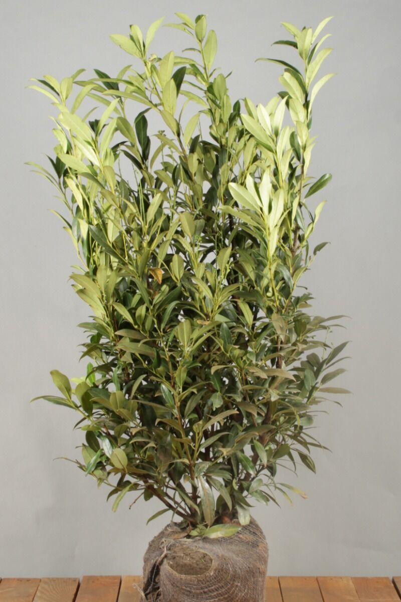 Laurier 'Herbergii' (100-125 cm) Extra kwaliteit Kluit