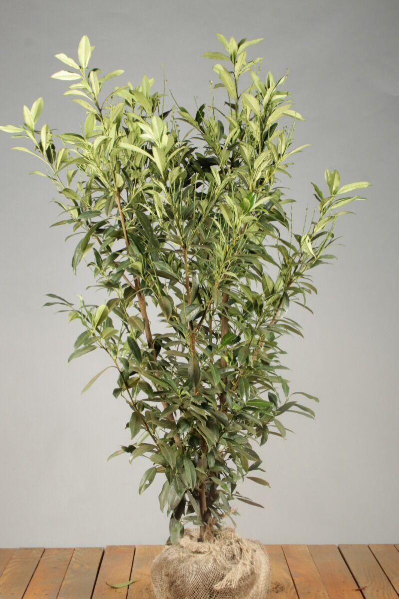 Laurier 'Herbergii' (125-150 cm) Extra kwaliteit Kluit
