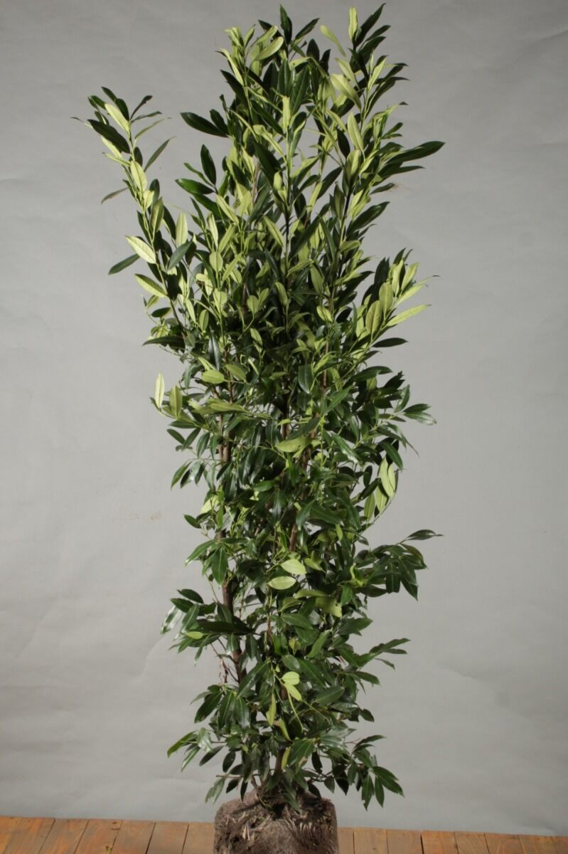 Laurier 'Herbergii' (150-175 cm) Kluit