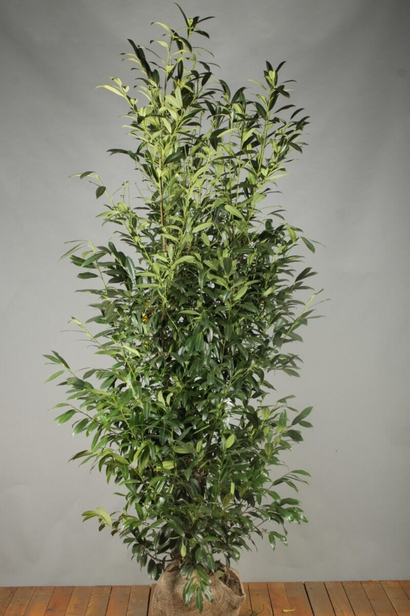 Laurier 'Herbergii' (200-225 cm) Extra kwaliteit Kluit