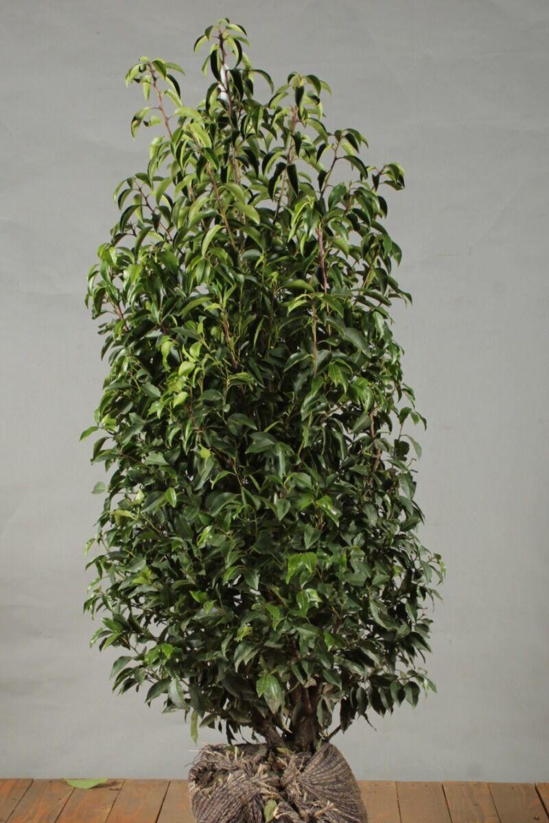 Portugese Laurier (125-150 cm) Extra kwaliteit Kluit
