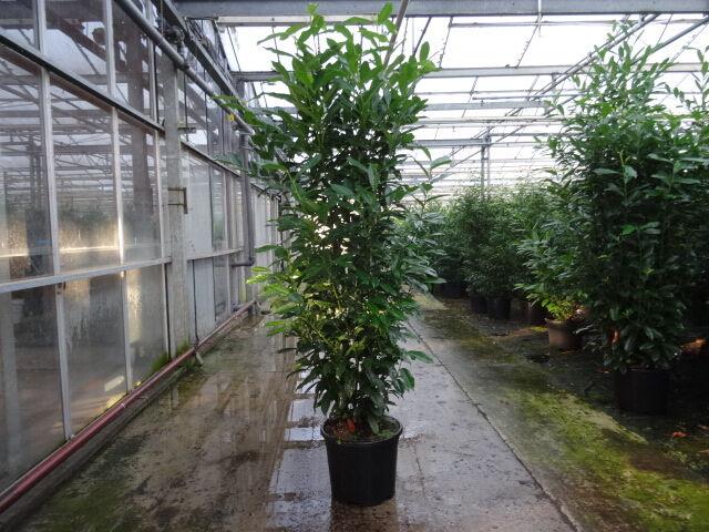 Laurier 'Genolia' (175-200 cm) Pot