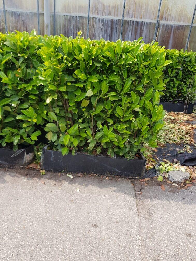 Laurier 'Rotundifolia' (100 cm) Kant-en-klaar
