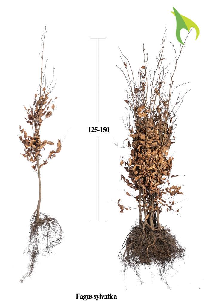 Groene beuk (125-150 cm) Extra kwaliteit Blote wortel