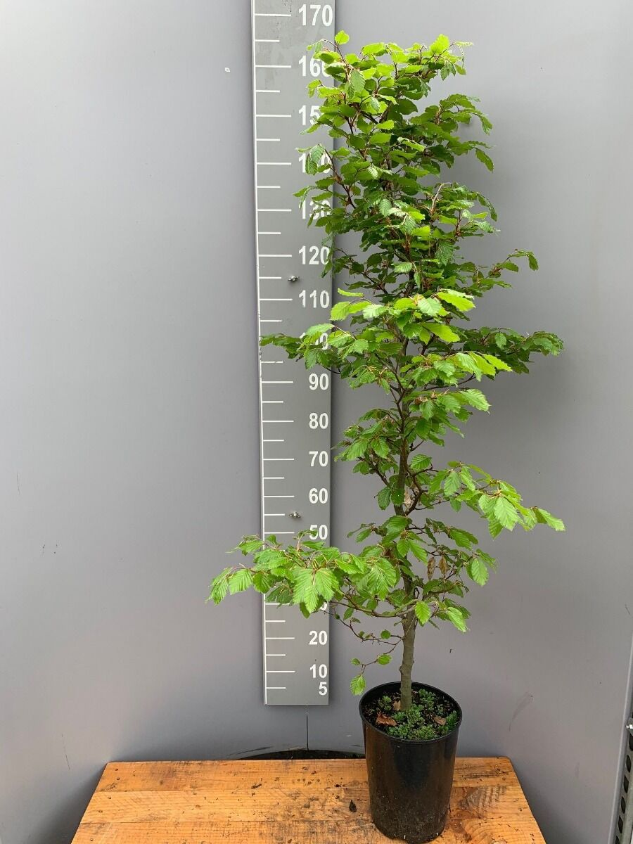 Groene beuk (150-175 cm) Pot