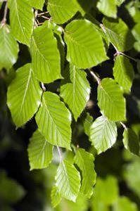Groene beuk (175-200 cm) Pot