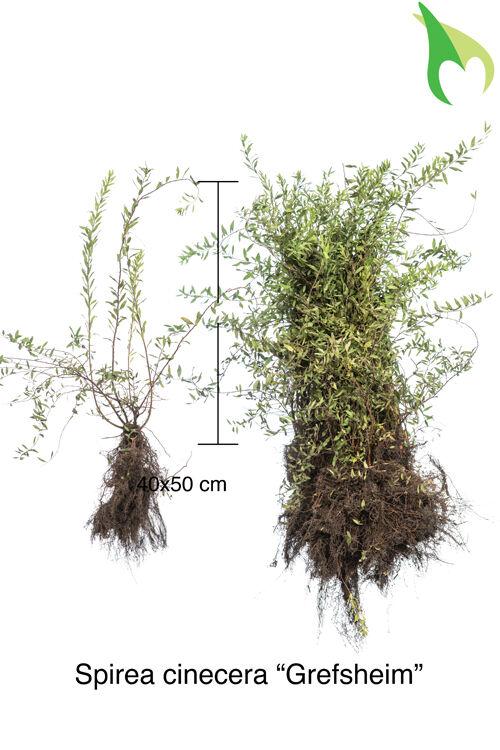 Spierstruik 'Grefsheim' (40-50 cm) Blote wortel