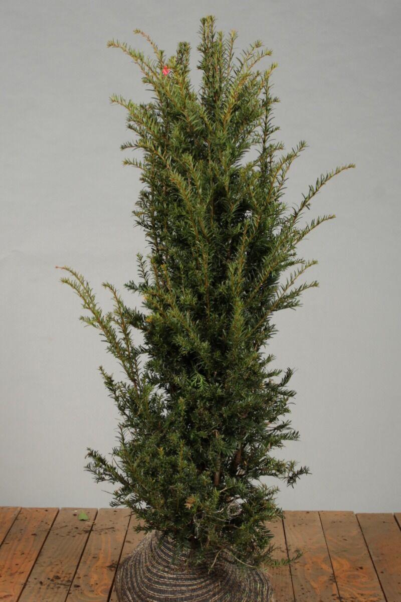 Taxus Baccata (125-150 cm) Extra kwaliteit Kluit
