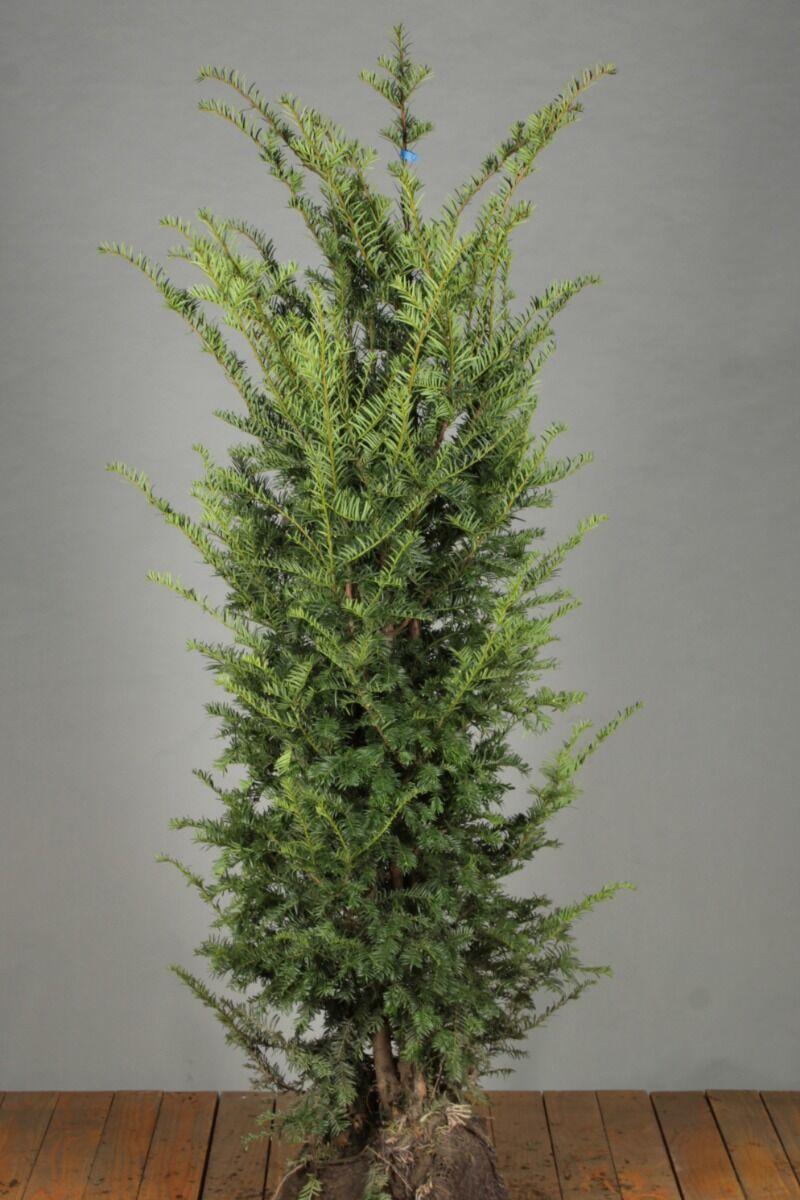 Taxus Baccata (150-175 cm) Extra kwaliteit Kluit