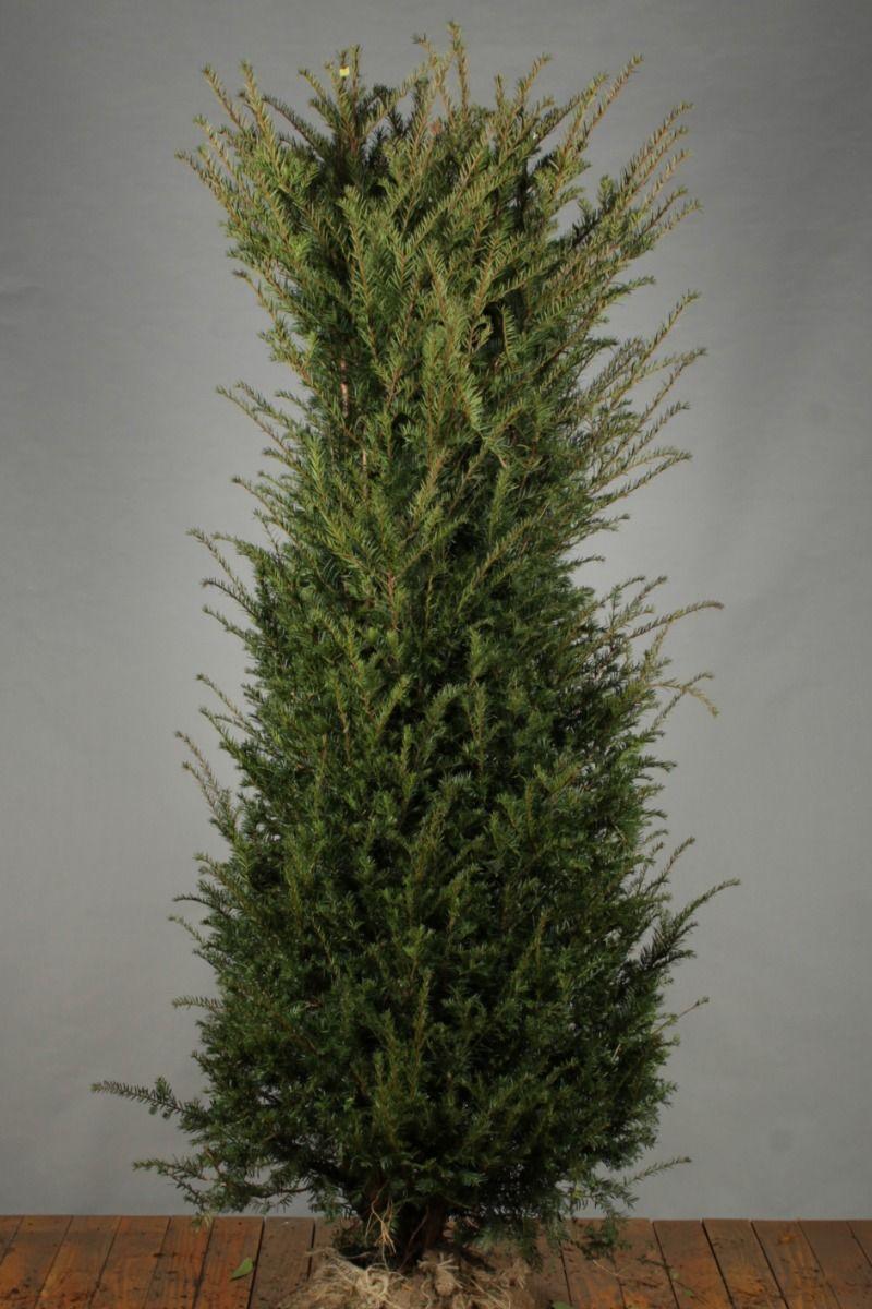 Taxus Baccata (175-200 cm) Extra kwaliteit Kluit