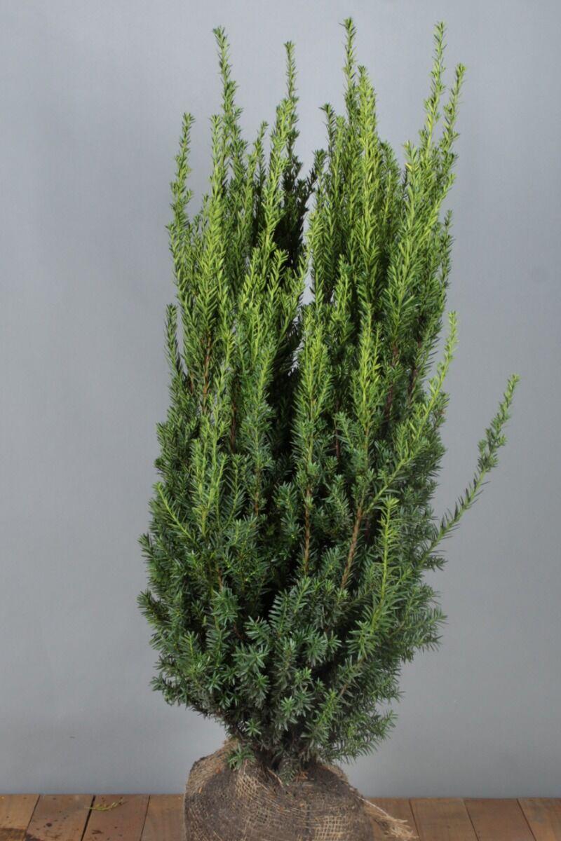Taxus media 'Hilli' (100-125 cm) Extra kwaliteit Kluit