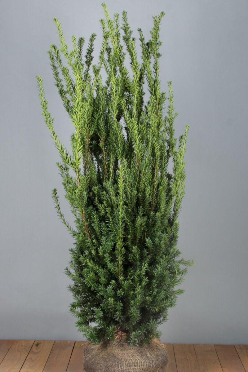 Taxus media 'Hilli' (125-150 cm) Extra kwaliteit Kluit