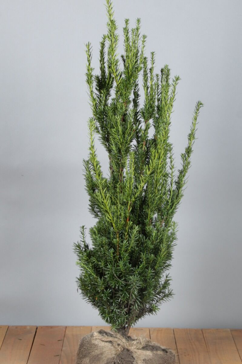 Taxus media 'Hilli' (60-80 cm) Kluit