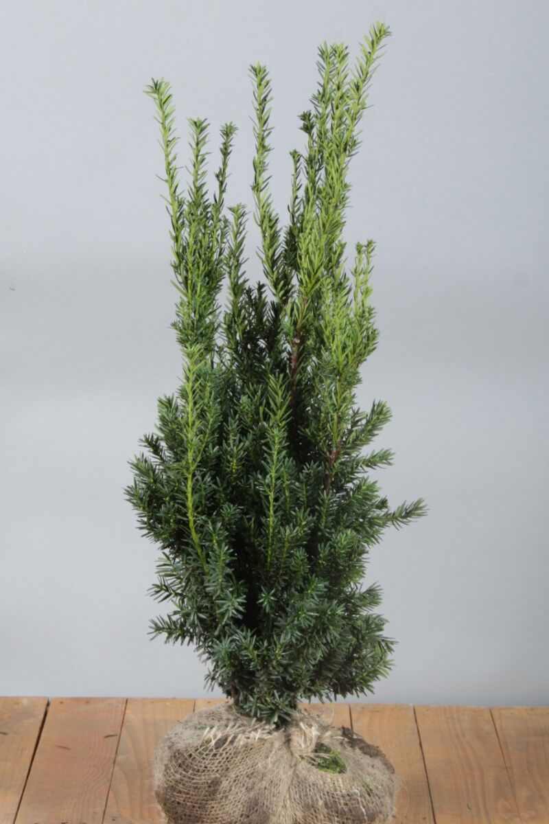 Taxus media 'Hilli' (80-100 cm) Kluit