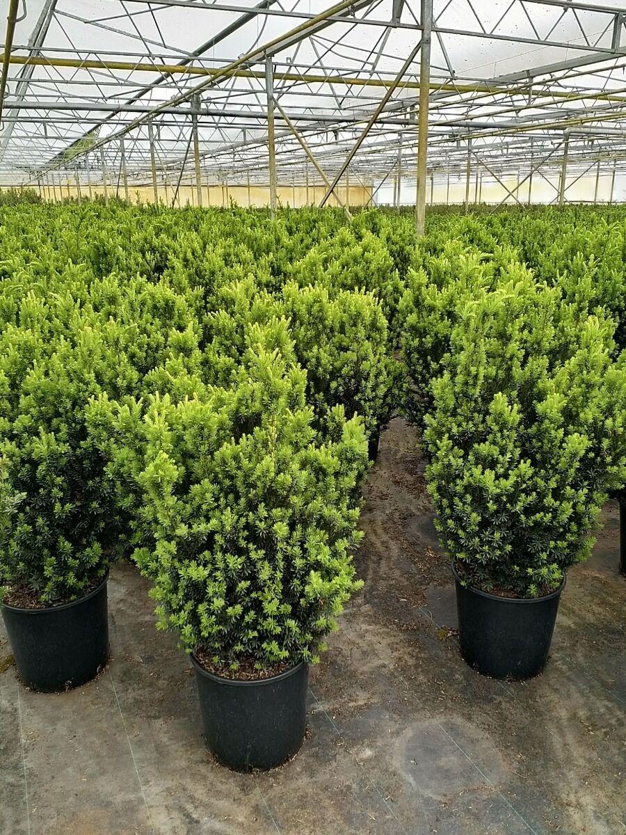 Taxus media 'Hilli' (80-100 cm) Pot