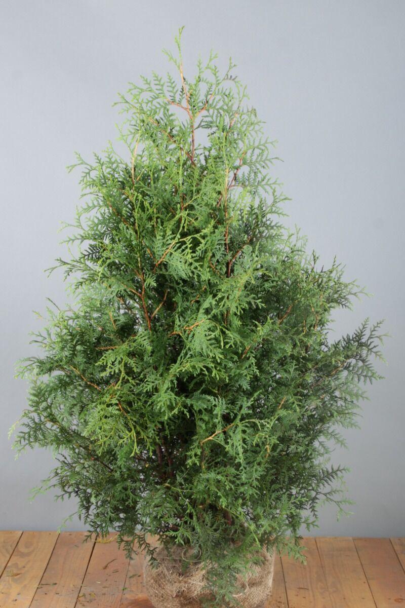Levensboom 'Brabant' (100-125 cm) Extra kwaliteit Kluit