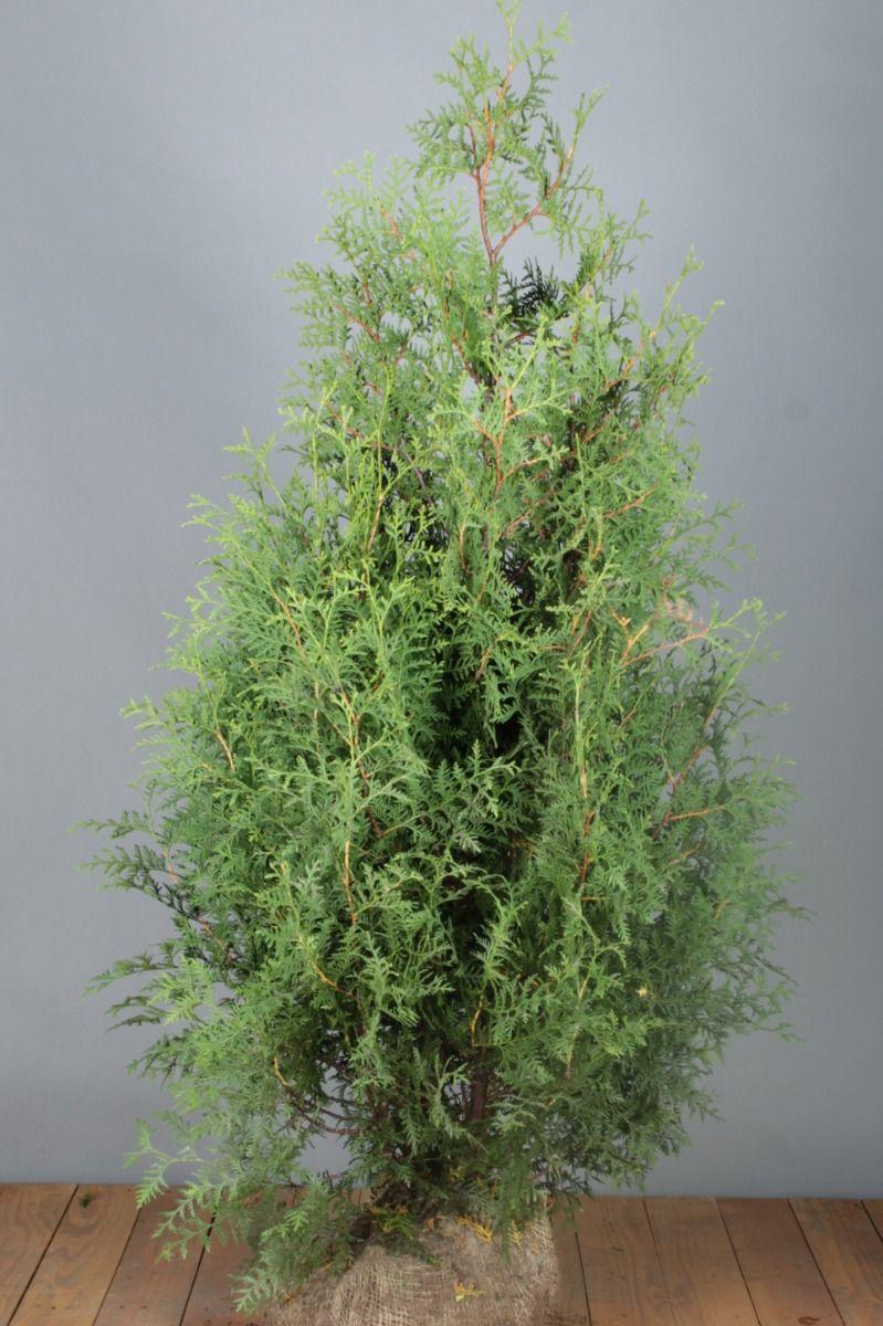 Levensboom 'Brabant' (125-150 cm) Extra kwaliteit Kluit