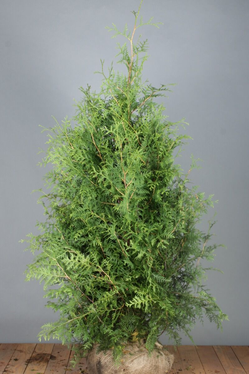 Levensboom 'Brabant' (150-175 cm) Extra kwaliteit Kluit