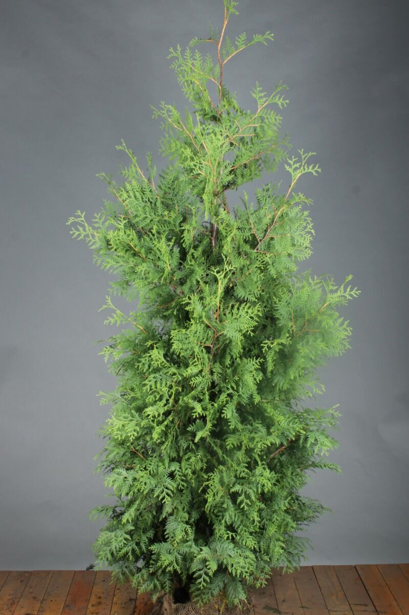Levensboom 'Brabant' (200-225 cm) Extra kwaliteit Kluit