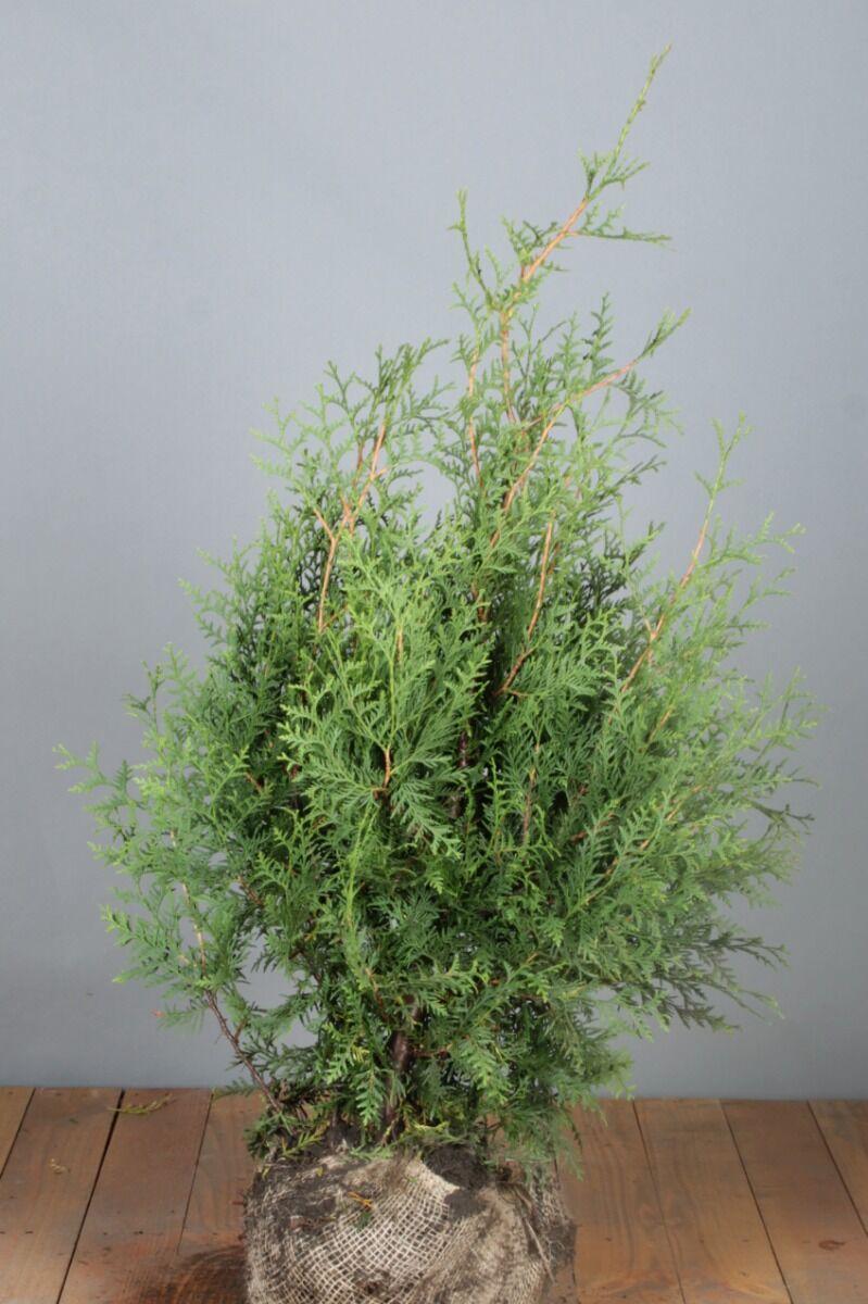 Levensboom 'Brabant' (80-100 cm) Extra kwaliteit Kluit