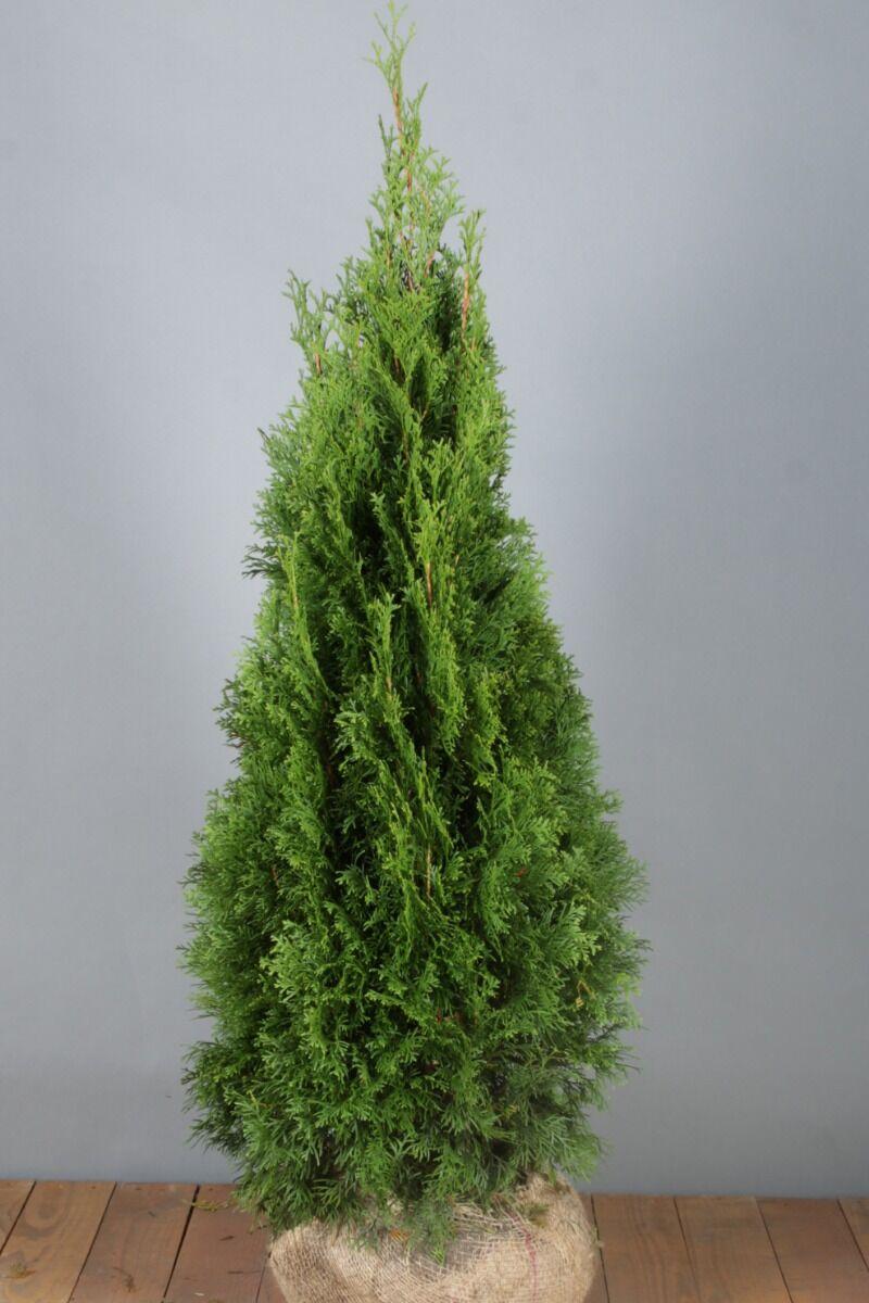 Levensboom 'Smaragd' (100-125 cm) Extra kwaliteit Kluit