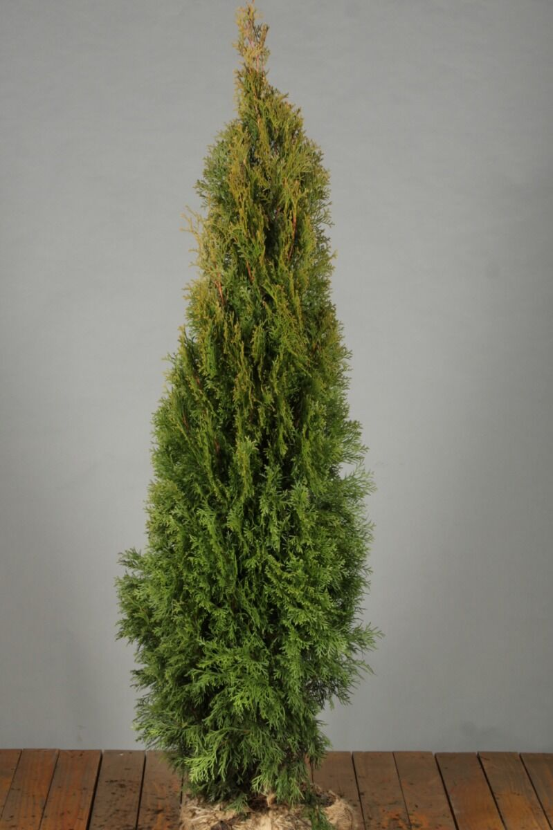 Levensboom 'Smaragd' (125-150 cm) Extra kwaliteit Kluit