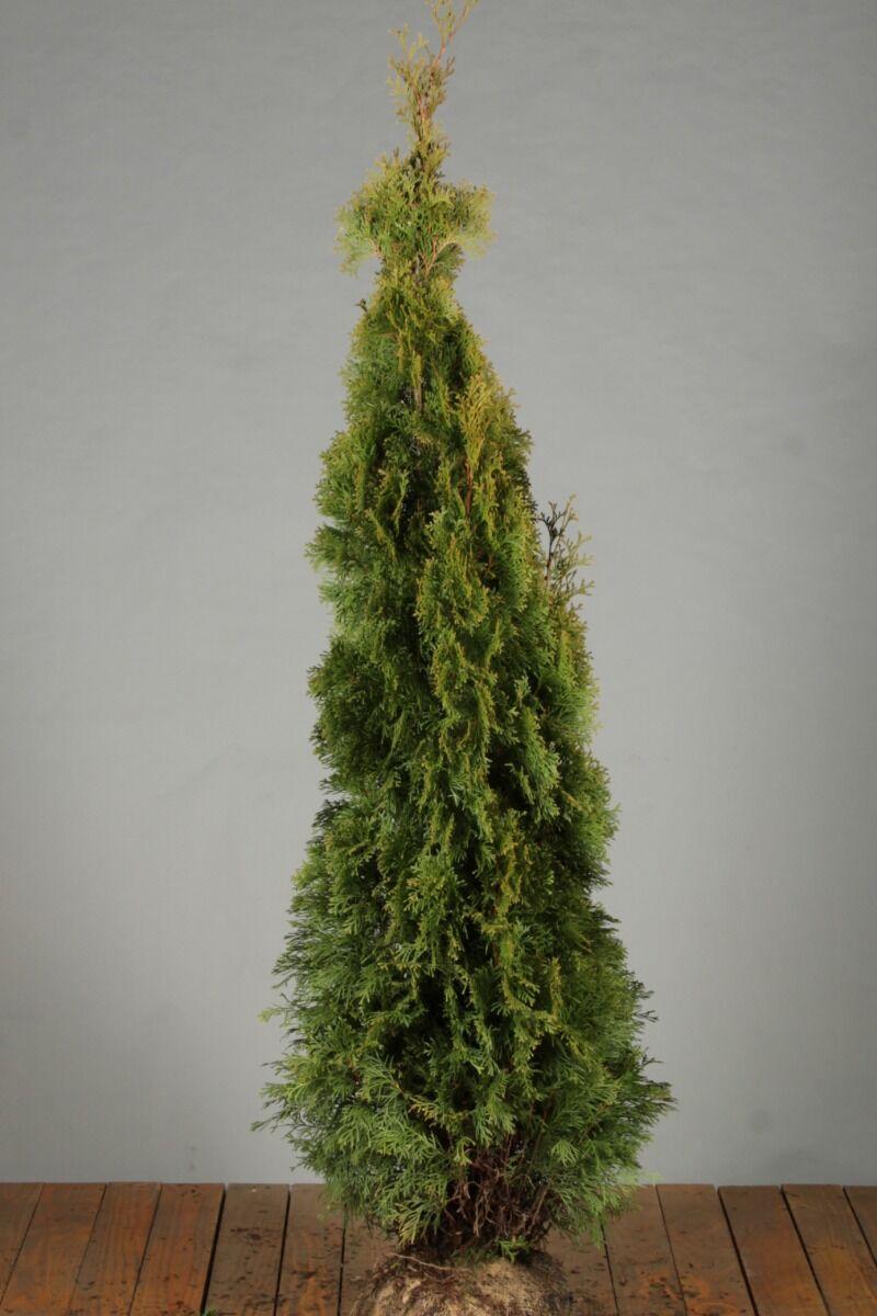 Levensboom 'Smaragd' (150-175 cm) Extra kwaliteit Kluit