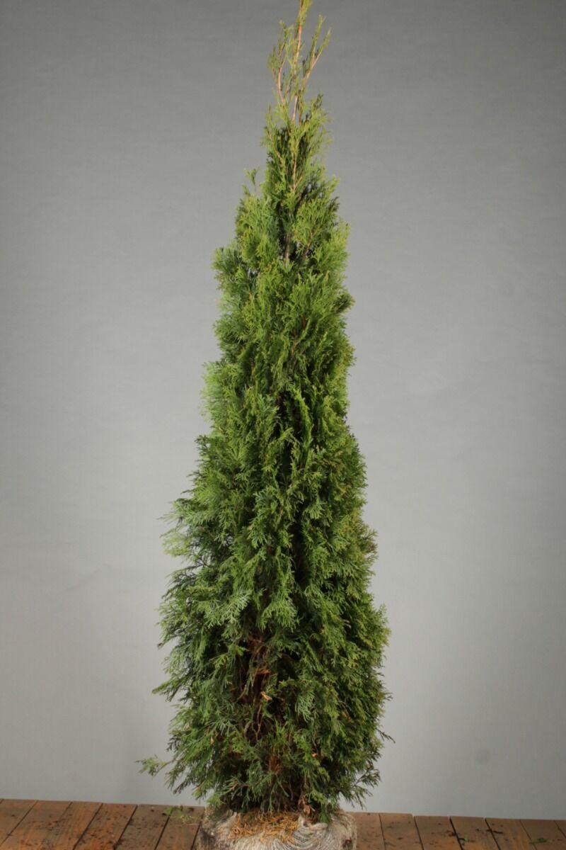 Levensboom 'Smaragd' (175-200 cm) Extra kwaliteit Kluit