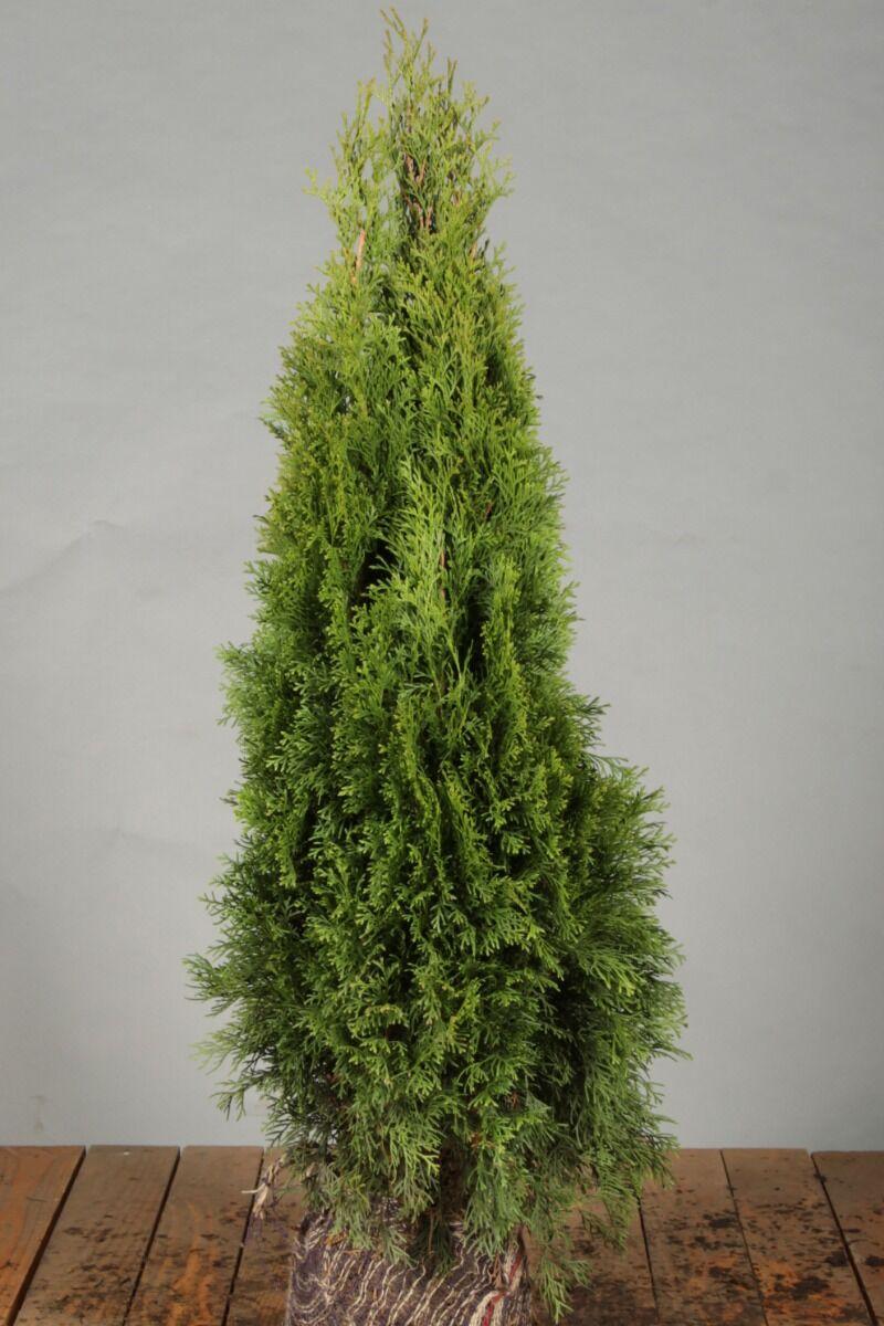 Levensboom 'Smaragd' (60-80 cm) Kluit